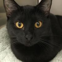 Adopt A Pet :: Ebony - Romeoville, IL