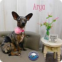 Adopt A Pet :: Arya - Arcadia, FL