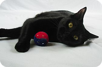 Bombay Cat for adoption in Farmington, Minnesota - Astrid  **I'm Overlooked!!!*