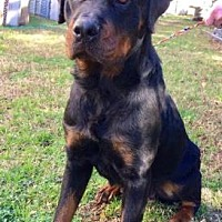 Adopt A Pet :: Laci - Chester Springs, PA