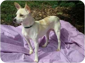 Chihuahua Mix Dog for adoption in Mobile, Alabama - HATTIE