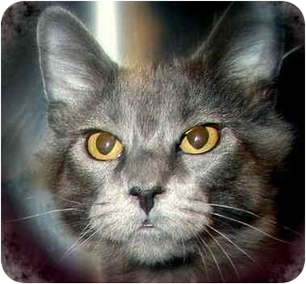 Domestic Longhair Cat for adoption in San Diego, California - Dove