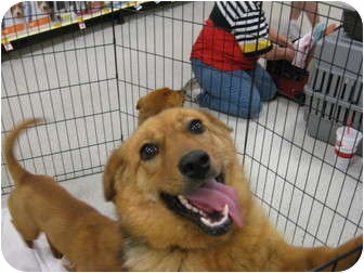 Shepherd (Unknown Type)/Corgi Mix Dog for adoption in Pinehurst, North Carolina - Scarlett