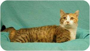 Domestic Shorthair Cat for adoption in Sacramento, California - Rosemary