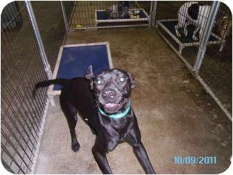Labrador Retriever Mix Dog for adoption in Tipton, Iowa - Bridget
