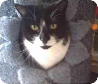Domestic Shorthair Cat for adoption in Saanichton, British Columbia - Shadow
