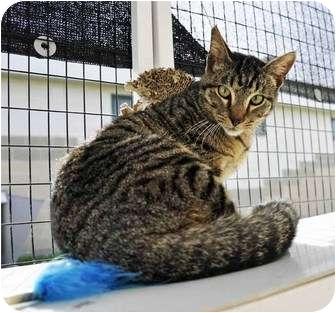 Domestic Shorthair Cat for adoption in Corpus Christi, Texas - Rango