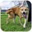 Photo 2 - Golden Retriever Mix Dog for adoption in Corpus Christi, Texas - Ranger