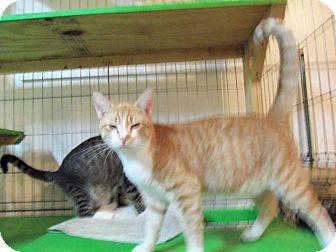 Domestic Shorthair Kitten for adoption in Catasauqua, Pennsylvania - Simon