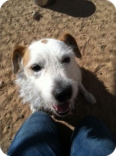 Jack Russell Terrier Dog for adoption in Austin, Texas - Tod in El Pasa Shelter