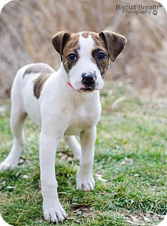 American Pit Bull Terrier/Cocker Spaniel Mix Puppy for adoption in Howell, Michigan - Polly