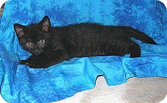 Domestic Shorthair Cat for adoption in Gilbert, Arizona - Miley