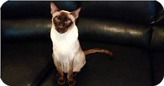Siamese Cat for adoption in valley center, California - Little One