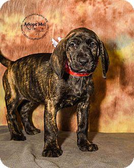 Bloodhound/Shepherd (Unknown Type) Mix Puppy for adoption in Cincinnati, Ohio - Princess