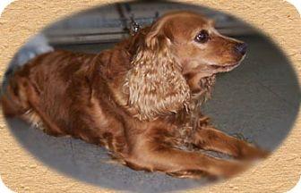 Cocker Spaniel Dog for adoption in Kirkland, Quebec - Bella