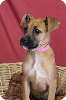 Boxer Mix Puppy for adoption in Waldorf, Maryland - Kerrigan