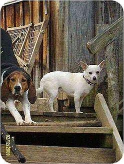 Chihuahua Dog for adoption in Portland, Maine - Nikko