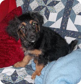 Jack Russell Terrier/Dachshund Mix Puppy for adoption in Virginia Beach, Virginia - Princess