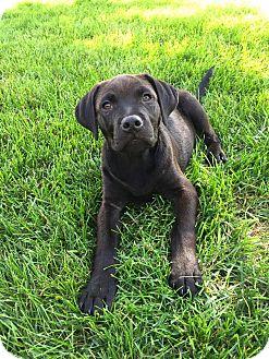 Labrador Retriever Mix Puppy for adoption in New Oxford, Pennsylvania - Embers