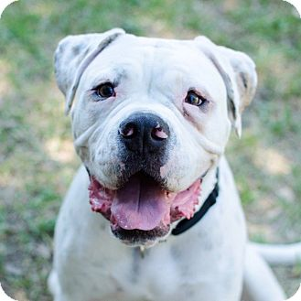 American Bulldog Mix Dog for adoption in Houston, Texas - Huey