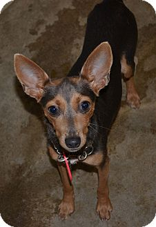Miniature Pinscher/Chihuahua Mix Dog for adoption in Beaumont, Texas - Sparkle