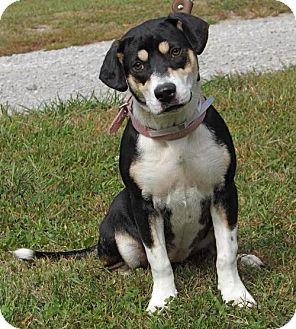 Beagle Mix Dog for adoption in Batavia, Ohio - Pippa