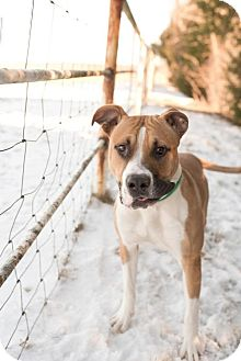 Boxer/American Pit Bull Terrier Mix Dog for adoption in Valley Falls, Kansas - Toby