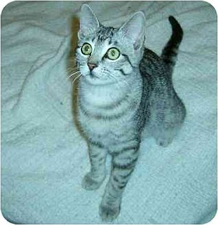Domestic Shorthair Cat for adoption in Lavon, Texas - Gracie