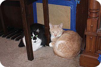 Domestic Shorthair Cat for adoption in St. Louis, Missouri - Loki