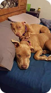 American Staffordshire Terrier Mix Puppy for adoption in Kewanee, Illinois - Miley