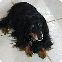 Adopt A Pet :: Jazzy - Weston, FL