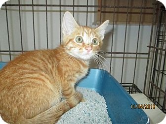 Domestic Shorthair Kitten for adoption in Mims, Florida - Charlie