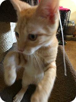 Domestic Shorthair Kitten for adoption in Lauderhill, Florida - Wiley