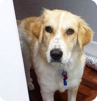 Great Pyrenees Mix Dog for adoption in Chicago, Illinois - Phi Phi