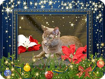 Domestic Shorthair Kitten for adoption in Richmond, Virginia - Roadie