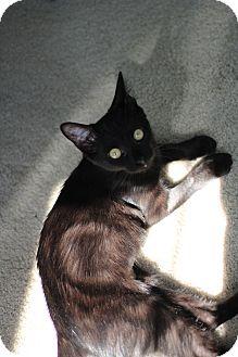 Domestic Shorthair Kitten for adoption in Richmond, Virginia - Inki