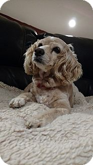 Cocker Spaniel Dog for adoption in Eustace, Texas - Lilly