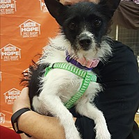 Terrier (Unknown Type, Small) Mix Dog for adoption in Valencia, California - Precious