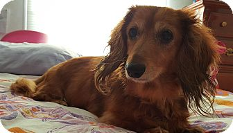 Dachshund Mix Dog for adoption in Rochester, New York - Miss Nala