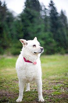 Jindo Mix Dog for adoption in Portland, Oregon - Lady