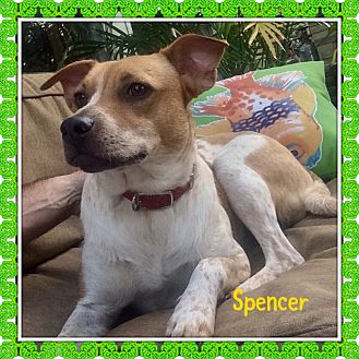 English Springer Spaniel/Labrador Retriever Mix Puppy for adoption in HAGGERSTOWN, Maryland - SPENCER