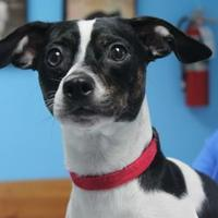 Rat Terrier/Chihuahua Mix Dog for adoption in Robinson, Illinois - Harvey