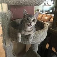 Adopt A Pet :: HENRY - Cypress, TX