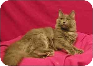 Domestic Mediumhair Kitten for adoption in Sacramento, California - Sydney