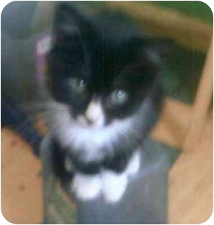 Domestic Shorthair Kitten for adoption in Columbus, Nebraska - Tux