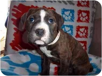 Boxer Mix Puppy for adoption in Westminster, Colorado - Brooklyn