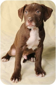 American Pit Bull Terrier Mix Puppy for adoption in Burr Ridge, Illinois - Mario