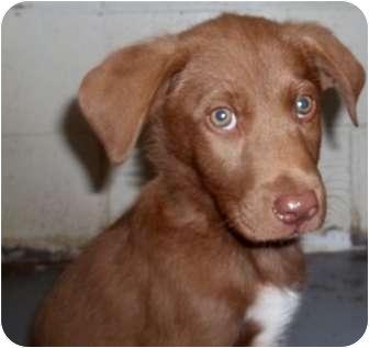 Labrador Retriever Mix Puppy for adoption in Crookston, Minnesota - Sleepy