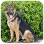 Photo 3 - German Shepherd Dog Dog for adoption in Los Angeles, California - Strauss von Steinbeck