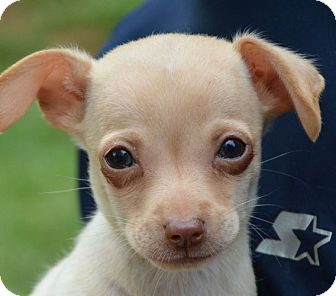 Chihuahua Mix Puppy for adoption in Staunton, Virginia - Paco